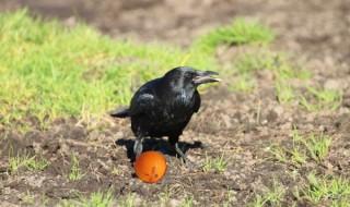 crow-o-boll